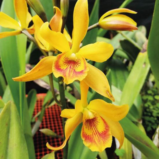 Orquidea1-(2)