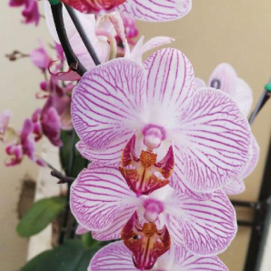 Orquidea1-(4)