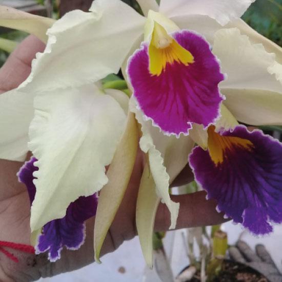 Orquidea1-(5)